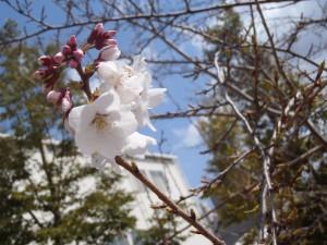 シキザクラも咲き始めていますよ♪